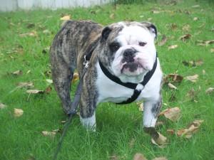 Maximus - Bulldog Stud in Oklahoma